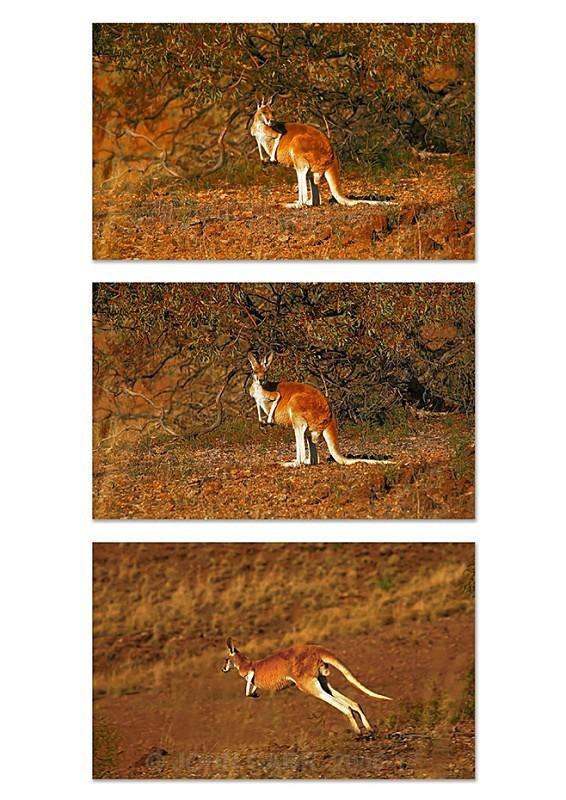 Red Kangaroo Triptych 1 - ANIMAL AND BIRD PHOTOS
