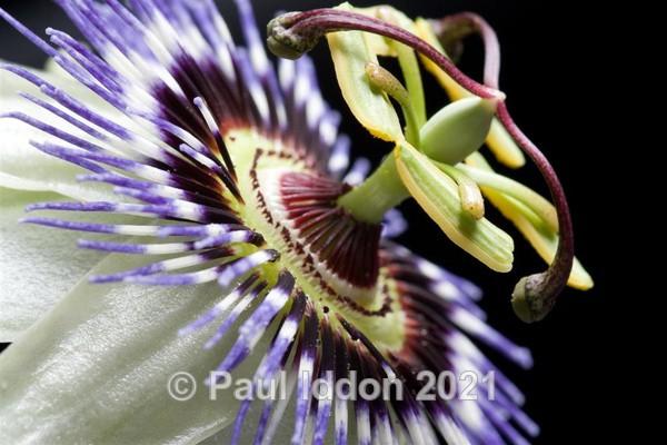 Passion Flower - Macro