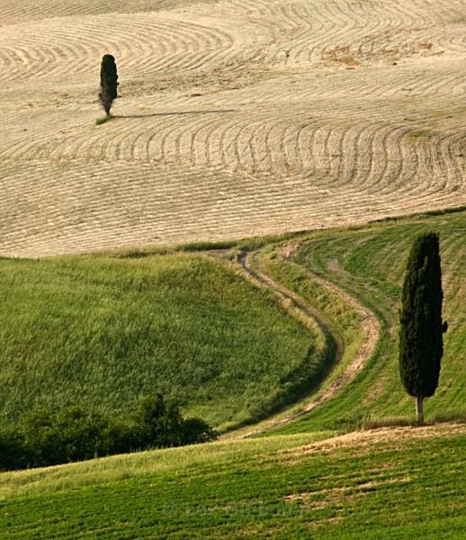 two trees - Tuscany