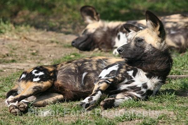 African Wild Dog 2 - African Wild Dogs
