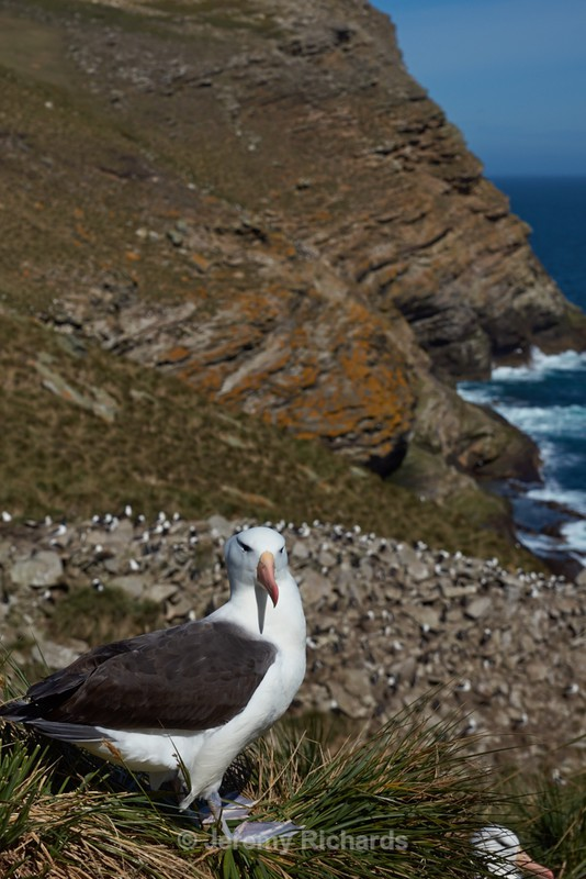 Black-browed Albatross - West Point Island