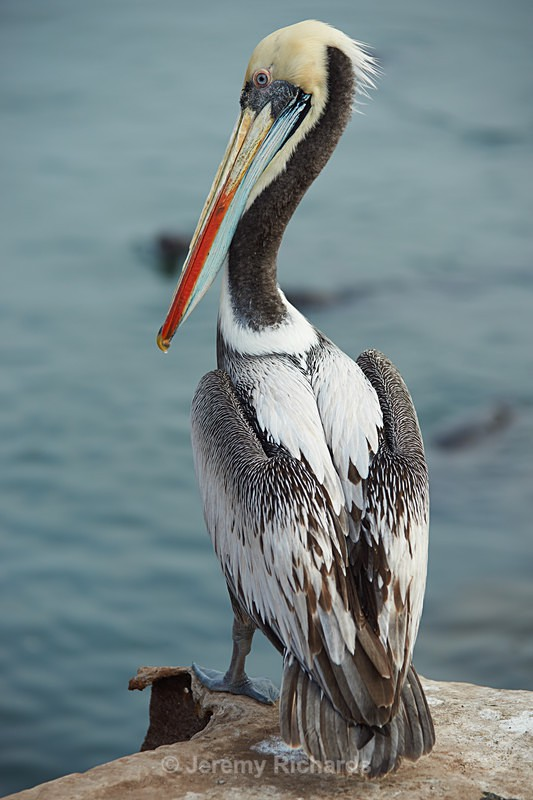 Peruvian Pelican - Wildlife of Chile