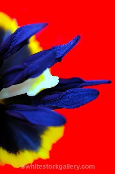 Tulip - Up Close !