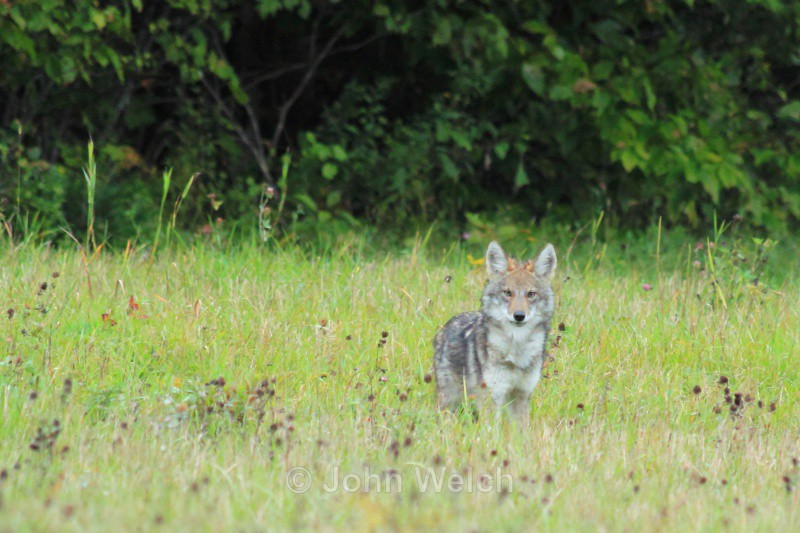 Coyote Staredown - White Mountain National Forest and Northern New Hampshire