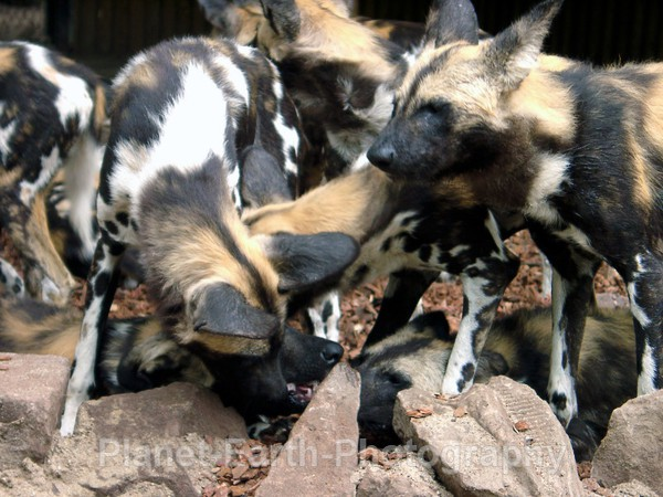 Wild Dog Pack 1 - African Wild Dogs