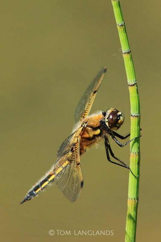 Four-spotted Chaser - Macro