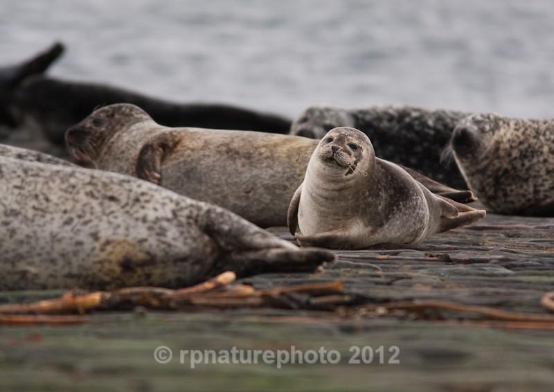 Common Seal - Phoca vitulina RPNP0041 - Mammals