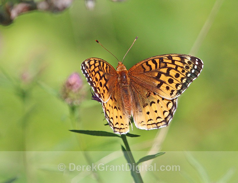 Great Spangled Fritillary  Speyeria cybele - Butterflies & Moths of Atlantic Canada