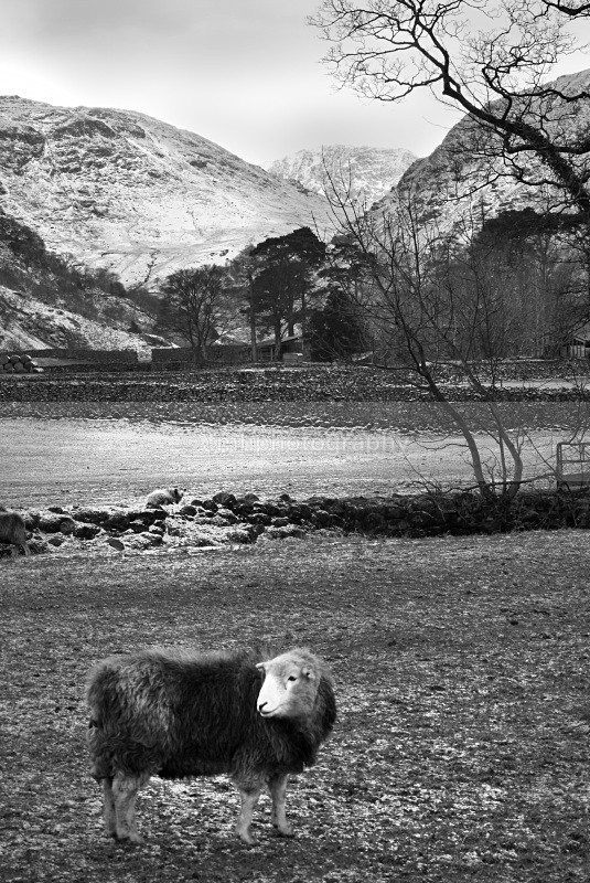 Herdwick Sheep in Lakeland. - Lakedistrict
