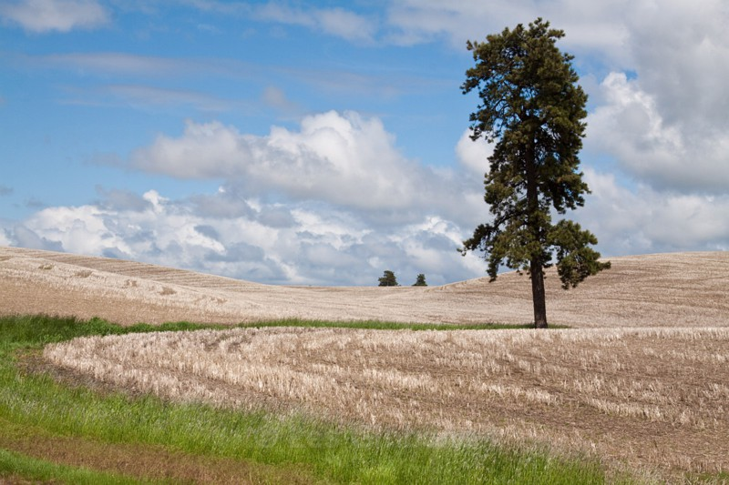 the tree 2 - Palouse