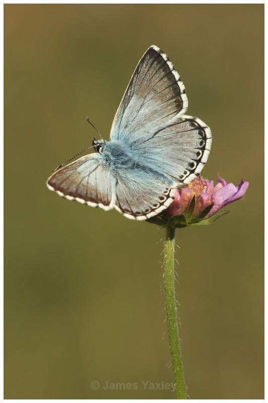 Chalk-hill Blue on Scabious 2 - Butterflies, Dragonflies and Demoiselles