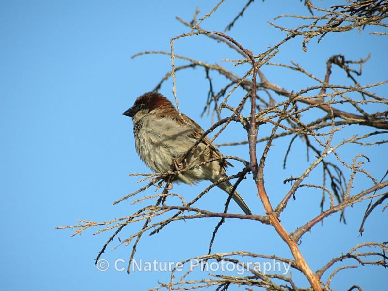 Tree Sparrow - Birds