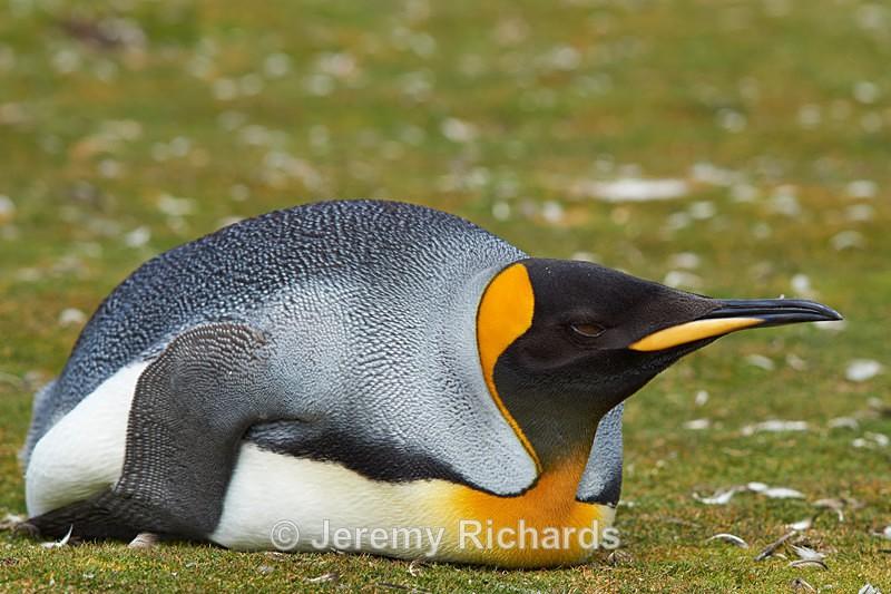 King Penguin at Rest - Volunteer Point