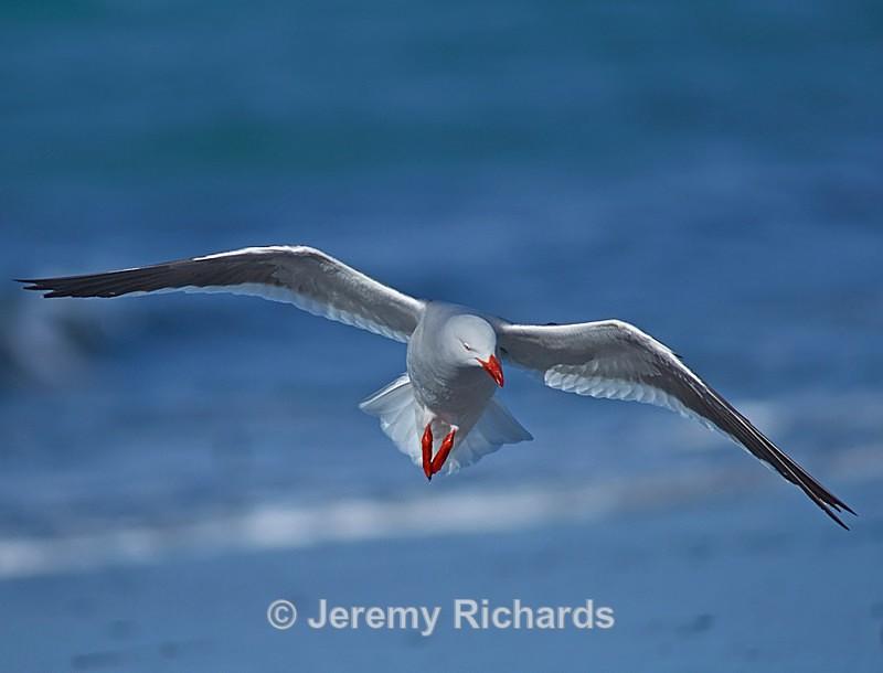 Dolphin Gull - Saunders Island