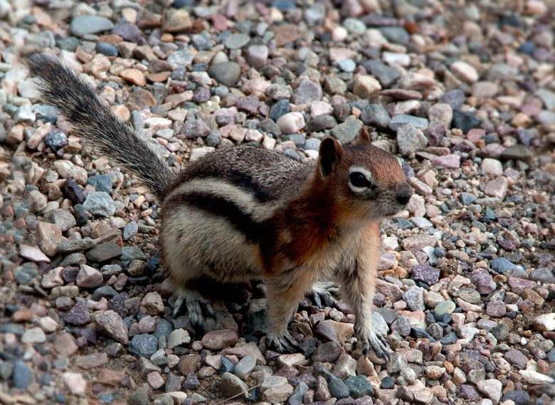 Tiny Chipmunk - BC and the Rockies,Canada