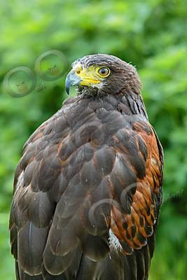 harris hawk Parabuteo unicinctus-7310 - Our Birds