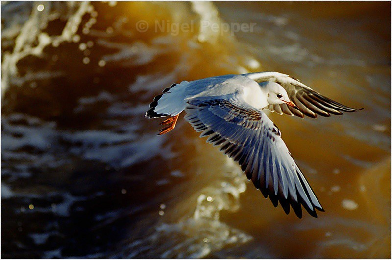 Emerging from Wave - Gulls