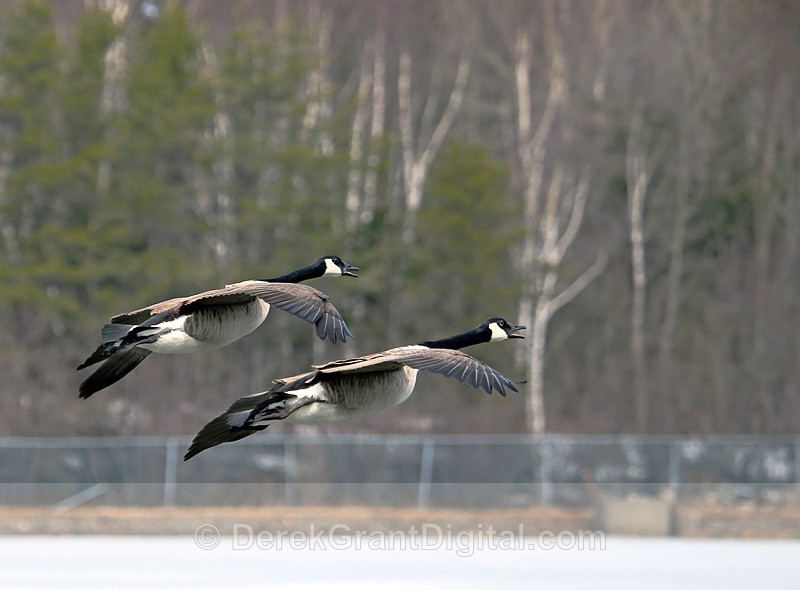 Synchronized Geese - Birds of Atlantic Canada