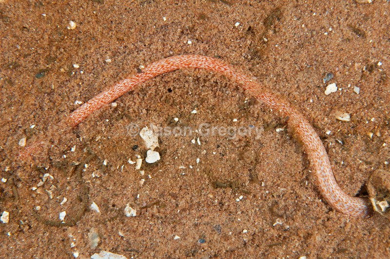Labidoplax digitata - Sea Cucumbers (Echinodermata)