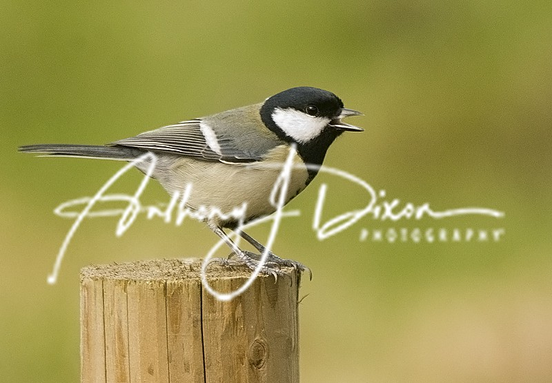 Great Tit - Latest Images