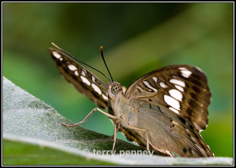 Butterfly 3 (Captive) - Insects & Spiders