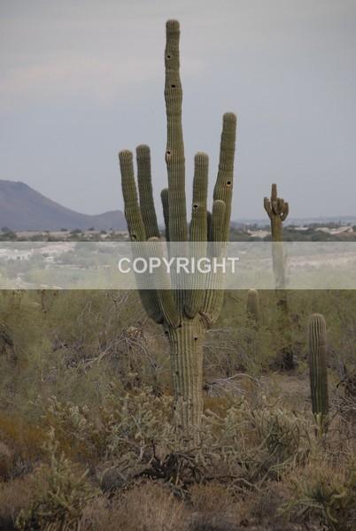 Saquaro Cactus - APW4860 - The Flower Shop