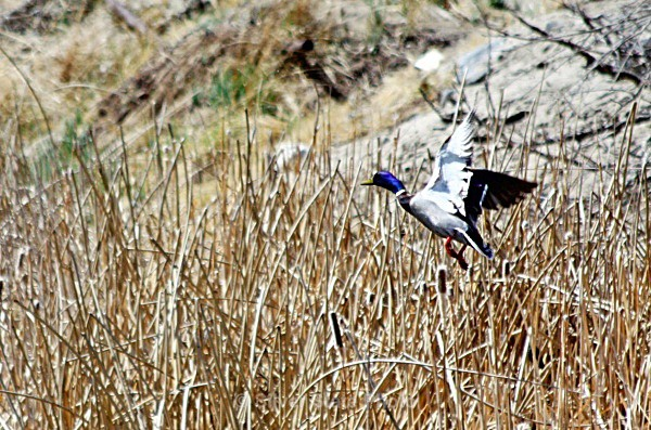 Purple Headed Mallard - Nevada Birds