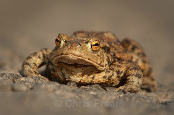 Frear-Toad - For T&C