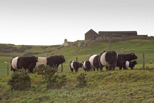 1 - Belted Galloway Cattle