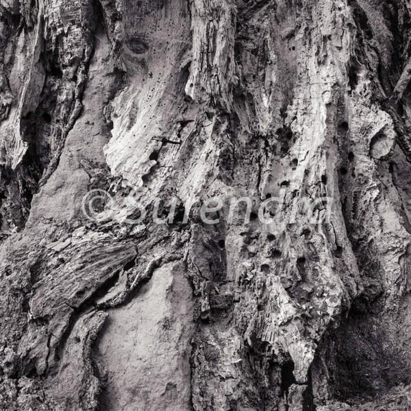 Bark # 11D - Bark Series 1 樹皮