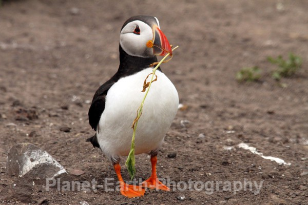 Tidying The Nest - Puffins