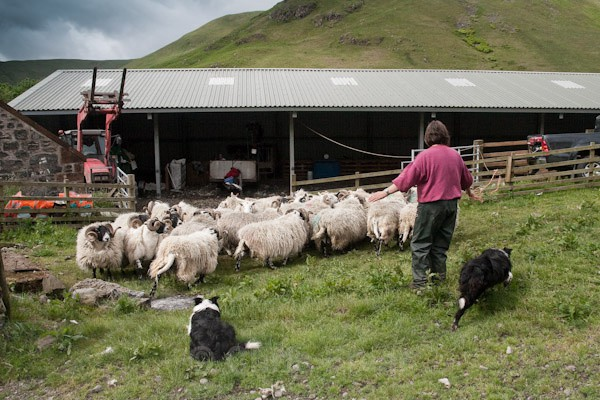 2 - Shearing at Glenwhargen Farm