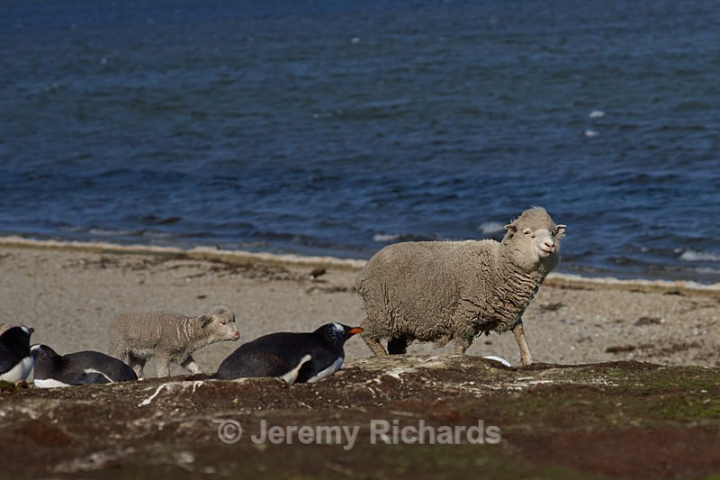 Sheep passing a penguin colony - Volunteer Point