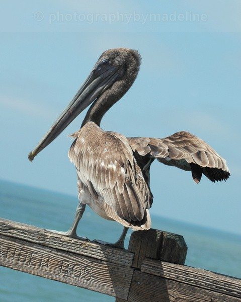 Old Man of the Sea - Birds