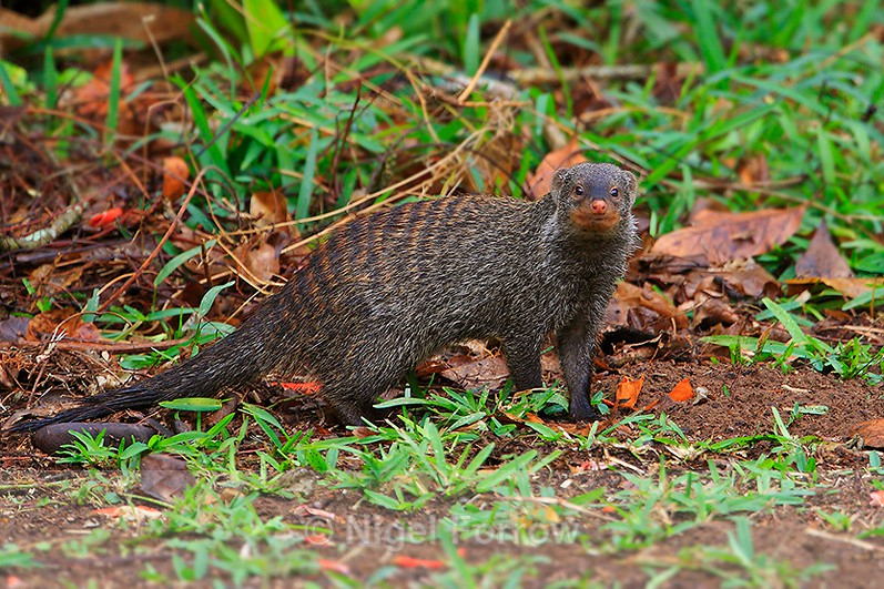 Banded Mongoose, South Africa - Mongoose