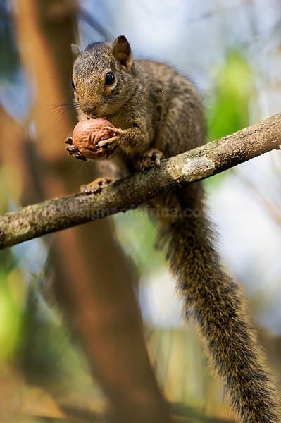 Ochre Bush Squirrel, Kenya Tree Squirrel, Nairobi, Kenya