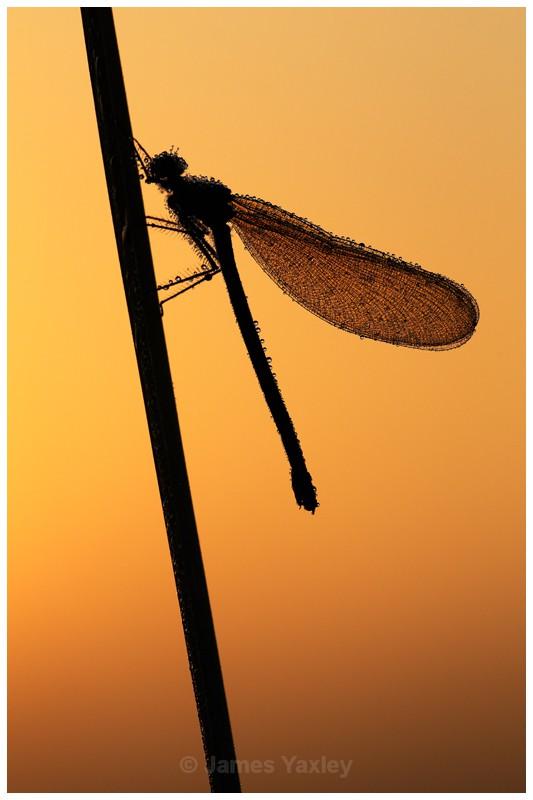 Dew Drop Demoiselle at Dawn - Butterflies, Dragonflies and Demoiselles