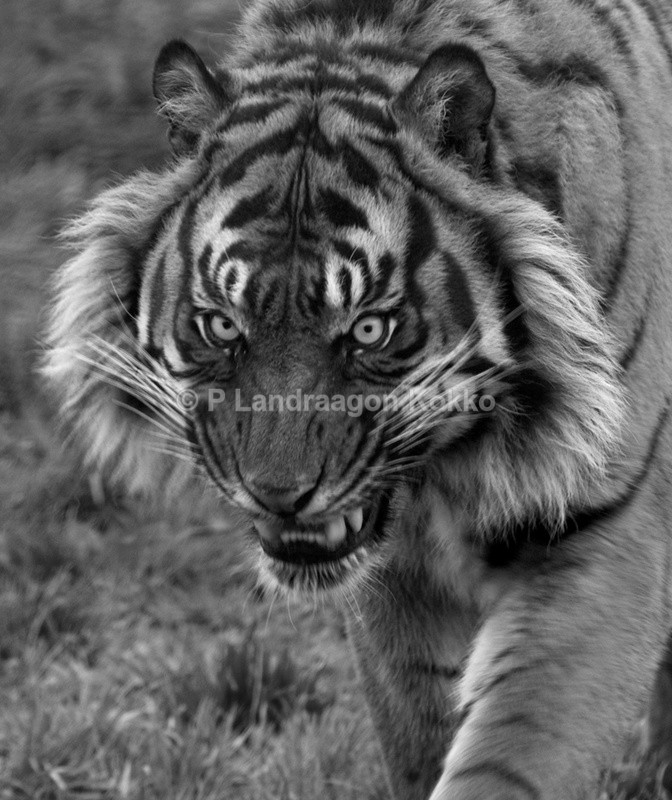 Tiger 1 - Portraits
