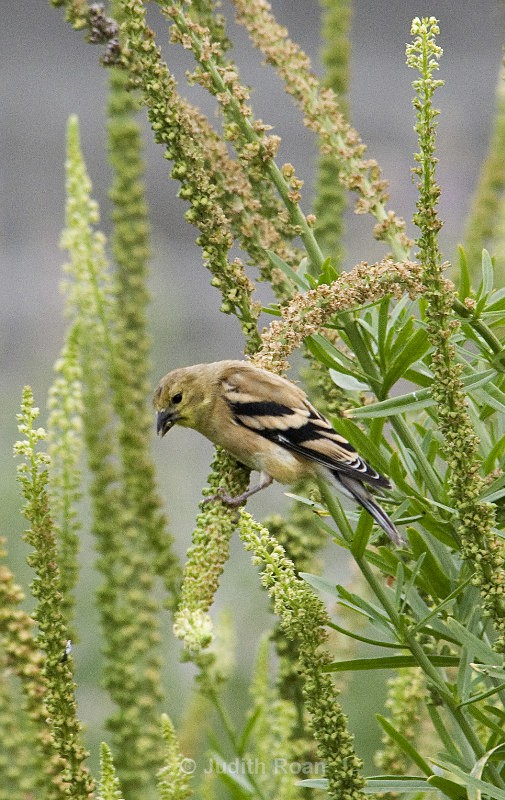 American Goldfinch female eating seeds - Backyard Birds of Mercer Island