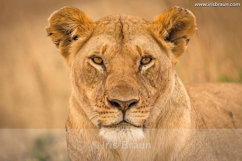 Frontal - Lion