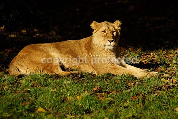 Asiatic lioness resting (Chester Zoo) - Asiatic Lions