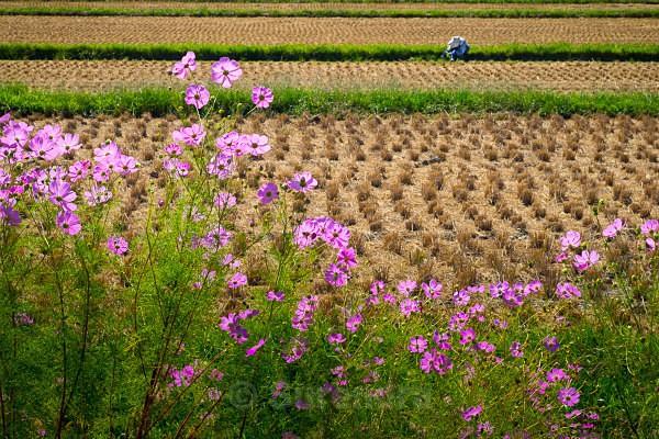 18a Cosmos with Rice Farmer - Autumn Rice