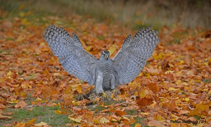 Goshawk - Birds Of Prey