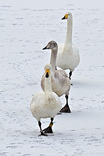 Whooper Swans (Cygnus cygnus) - LRPS Panel