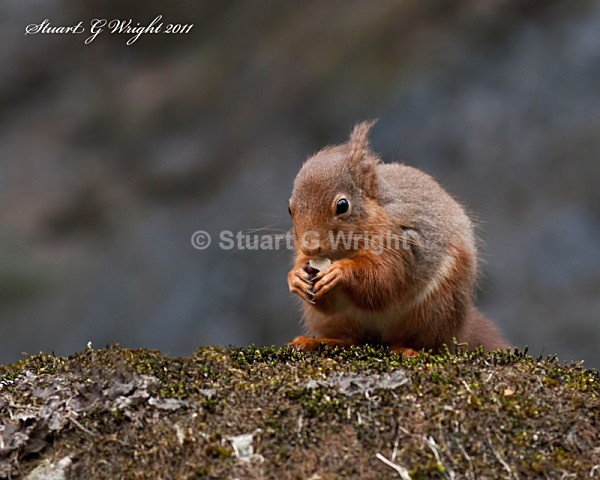 754 - Red Squirrels
