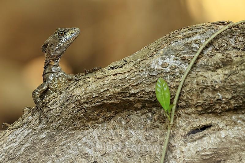 Brown Basilisk on tree root, Playa Cativo Lodge, Costa Rica - REPTILES & AMPHIBIANS