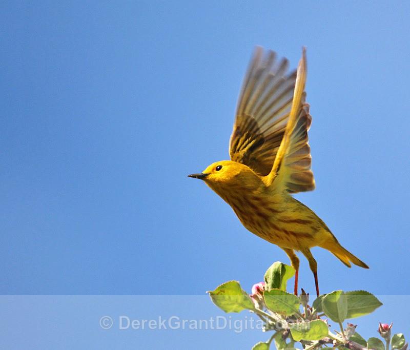 Yellow Warbler (male) - 1 - Birds of Atlantic Canada