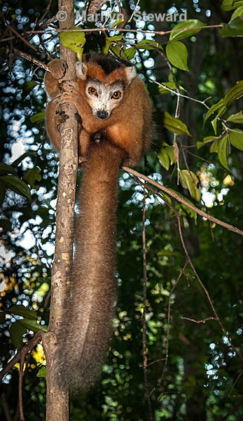 Male crowned lemur - Exhibition acceptances