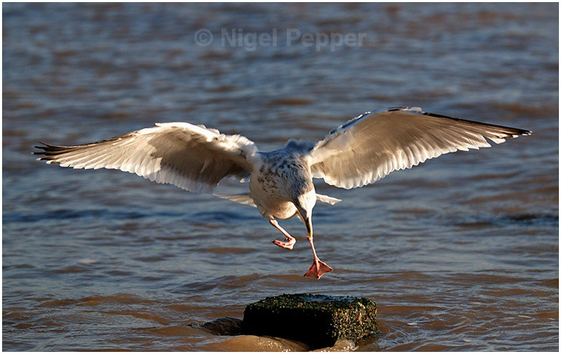 Dec 3rd 2007 ( 1 ) - Leggy the Herring Gull