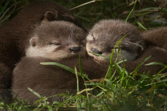 8 - Otters